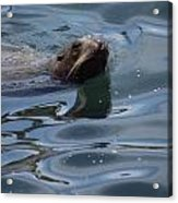 Swimming Sea Lion Acrylic Print