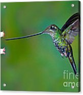 Sword-billed Hummingbird Acrylic Print