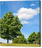 Sycamore  Acer Pseudoplatanus Acrylic Print