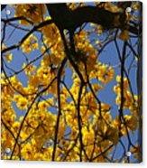 Tabebuia Tree Blossoms Acrylic Print