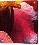 Tall Bearded Iris Named Ancient Echoes Acrylic Print
