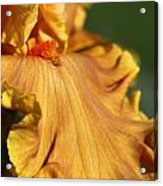 Tall Bearded Iris Named Penny Lane Acrylic Print