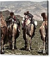Working Camels Acrylic Print