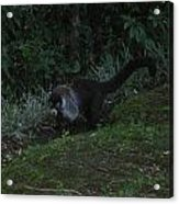 Tayra Costa Rica Animals Zoo Habitat Indigenous Population Mixing With Travellers Enjoying And Being Acrylic Print