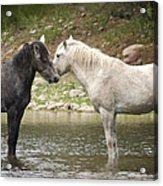 Tender Moments - Wild Horses  Acrylic Print
