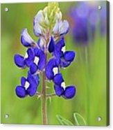 Texas Bluebonnet Acrylic Print