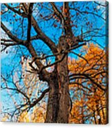 Texture Of The Bark. Old Oak Tree Acrylic Print