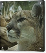 The Cougar 3 Acrylic Print by Ernie Echols
