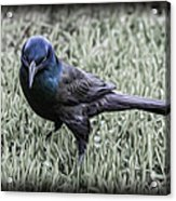 The Grackle Acrylic Print by Jeff Swanson
