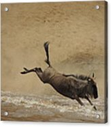 The Great Migration- Wildebeest Crossing  Acrylic Print