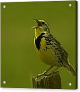 The Meadowlark Sings Acrylic Print