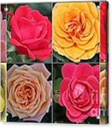 Spring Time Roses Acrylic Print