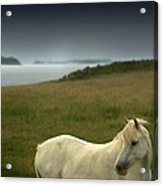 The Welsh Pony  Acrylic Print
