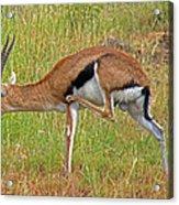 Thomson's Gazelle Acrylic Print