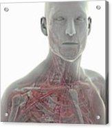 Thoracic Anatomy Acrylic Print
