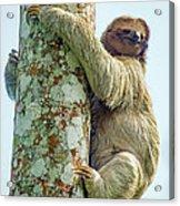 Three-toed Sloth Bradypus Tridactylus Acrylic Print