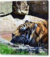 Tiger Playing Acrylic Print