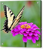 Tiger Swallowtail Butterfly On Zinnia Acrylic Print