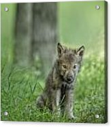Timber Wolf Pup Acrylic Print