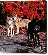 Timber Wolves Under  A Red Maple Tree Acrylic Print
