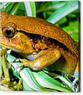 Tomato Frog Acrylic Print