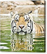 Top Cat Acrylic Print