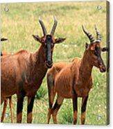 Topi Antelope Acrylic Print