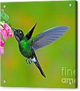 Tourmaline Sunangel Hummingbird Acrylic Print