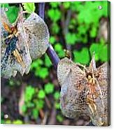 Trapped Fairies Acrylic Print