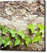 Tree Vine Acrylic Print
