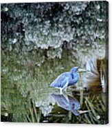 Tri Colored Heron Acrylic Print