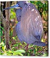 Tricolored Heron Egretta Tricolor Acrylic Print