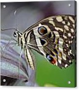 Tropical Butterfly Acrylic Print