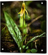 Trout Lily  Acrylic Print