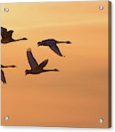 Trumpeter Swans In Flight At Sunset Acrylic Print