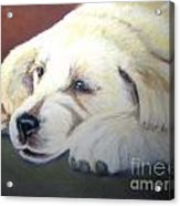 Tuckered Out Acrylic Print by Amber Nissen