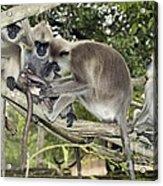 Tufted Grey Langurs Acrylic Print