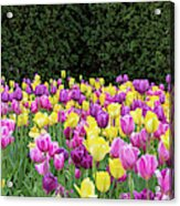 Tulip Flowers In A Garden, Chicago Acrylic Print