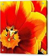 Tulip Intimacy Acrylic Print