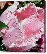Tulip Lace Acrylic Print by Felicia Tica