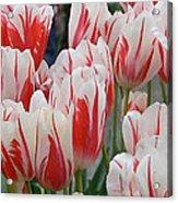 Tulips 8 Acrylic Print