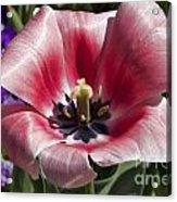 Tulips At Dallas Arboretum V93 Acrylic Print