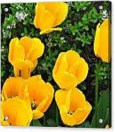 Tulips. Acrylic Print