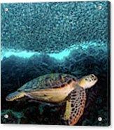 Turtle And Sardines Acrylic Print