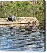 Turtle Float Acrylic Print