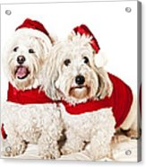 Two Cute Dogs In Santa Outfits Acrylic Print