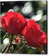 Two Red Roses Acrylic Print