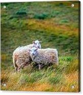 Two Sheep Acrylic Print