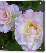 Two White Roses Acrylic Print
