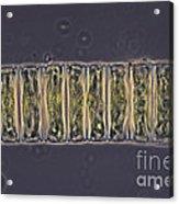 Ulothrix Sp. Algae, Lm Acrylic Print